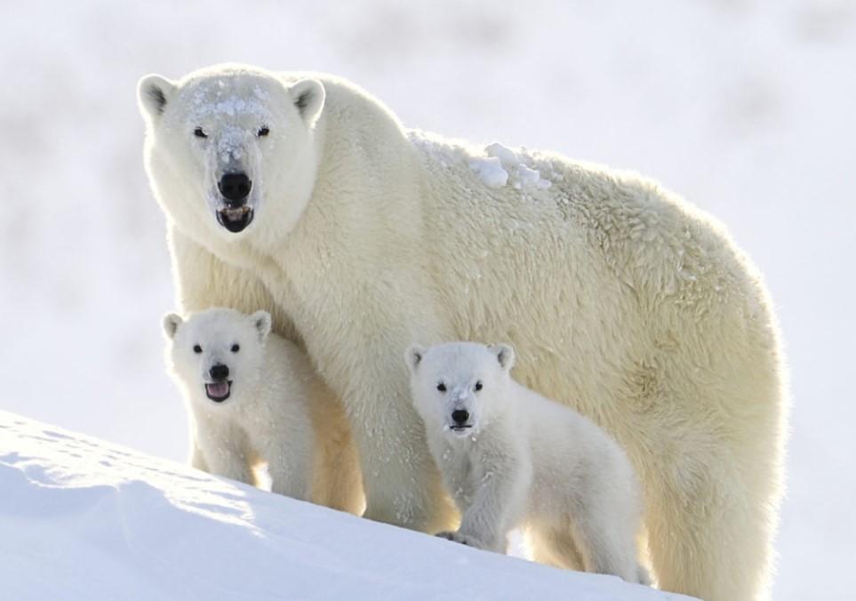 كم تبلغ سرعة الدب القطبي - انا مسافر