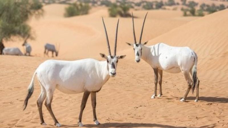 ما هو الحيوان الوطني لدولة قطر