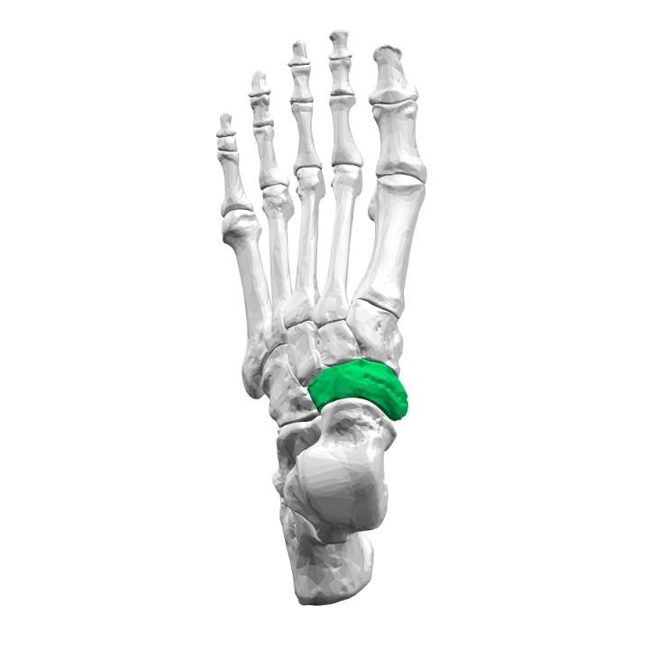 Bruxism clenching|歯ぎしり食いしばり|Navicular bone|