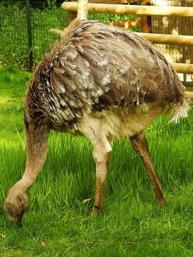 Edinburgh Zoo Nights- Darwin's Rhea