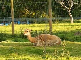 Edinburgh Zoo Nights- Vicuna