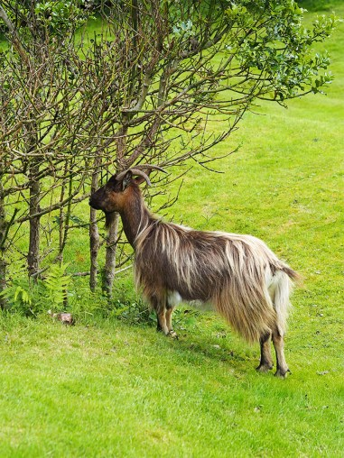 MacDonald Forest Hills Hotel & Spa- Wild Goats