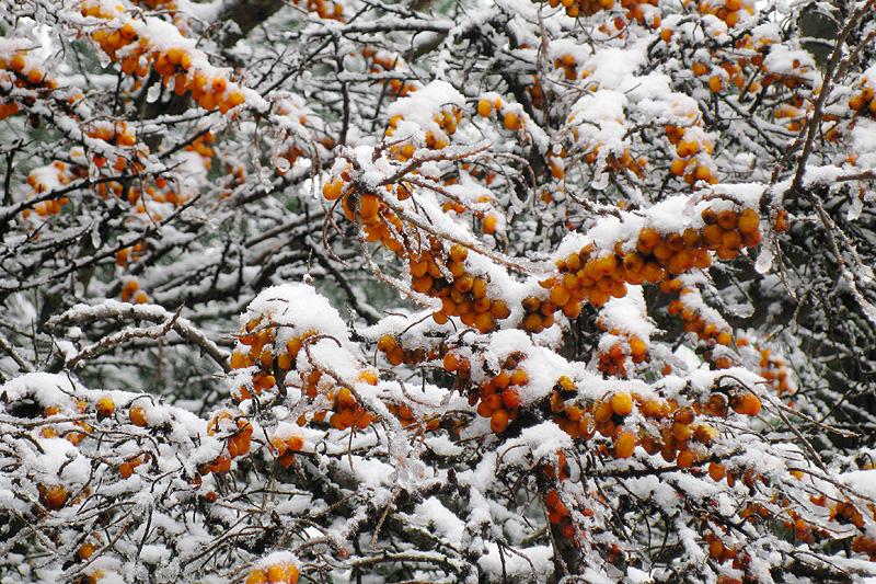 Облепиха под снегом