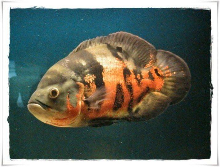 jenis ikan hias air tawar kolam