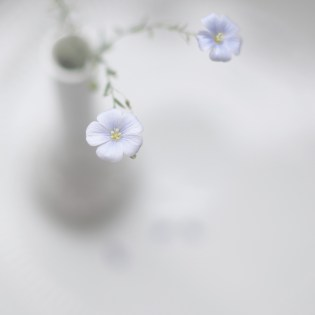 pale blue flower