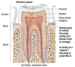 """What's the Difference Between the """"Pulp Cavity"""" and"""