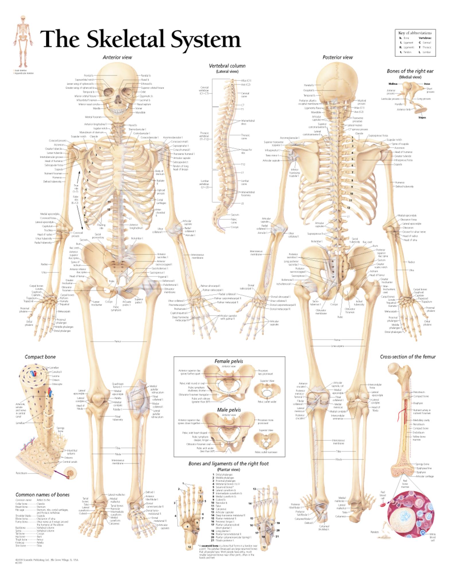 Human Anatomy Skeletal System Worksheet