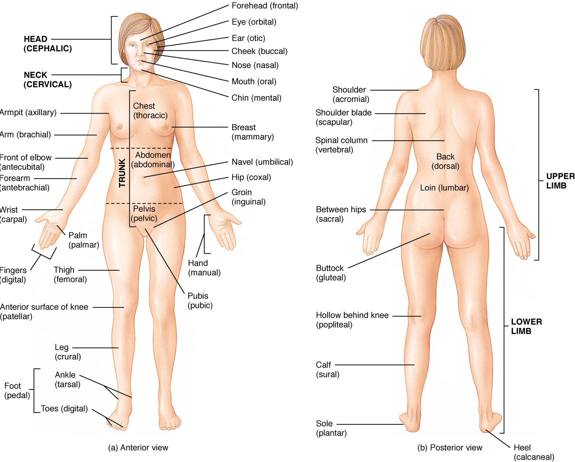 The Language Of Anatomy Anatomical Position And