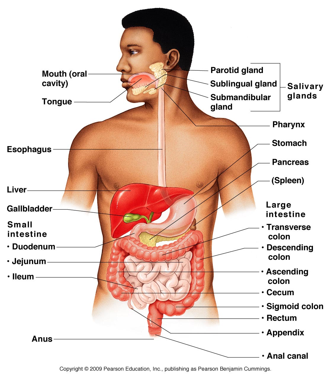 Digestive System Overview Anatomy Amp Physiology
