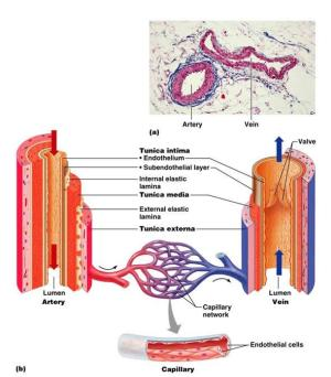 The Cardiovascular System: Blood Vessels : Anatomy