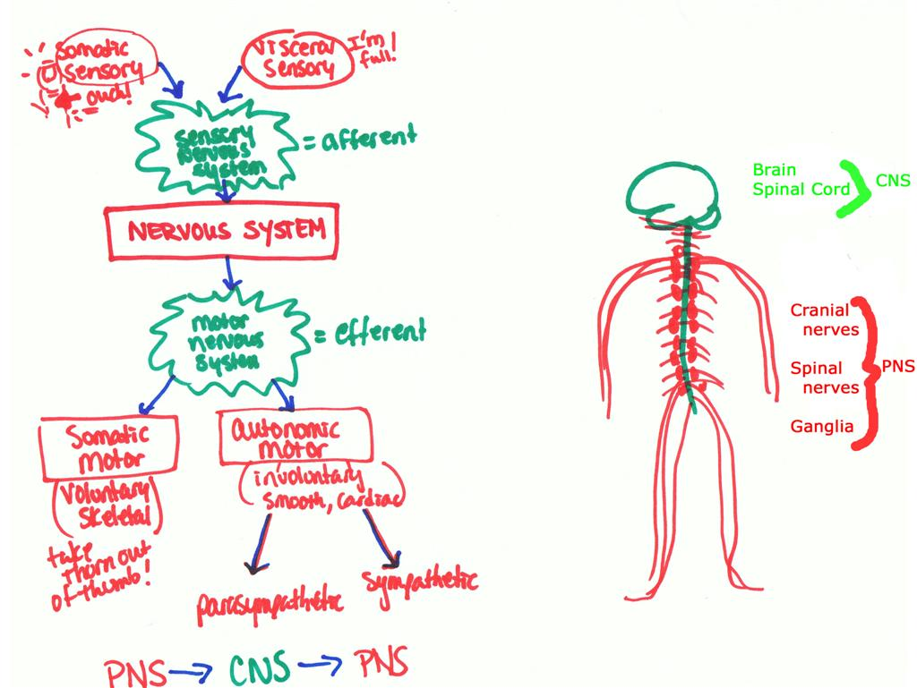 Nervous System Organization Worksheet