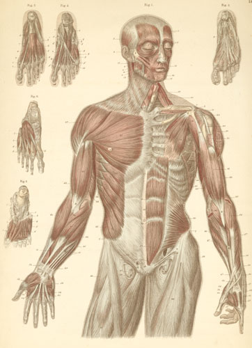 Plate 11: Muscles of the face, trunk, arms, and feet.