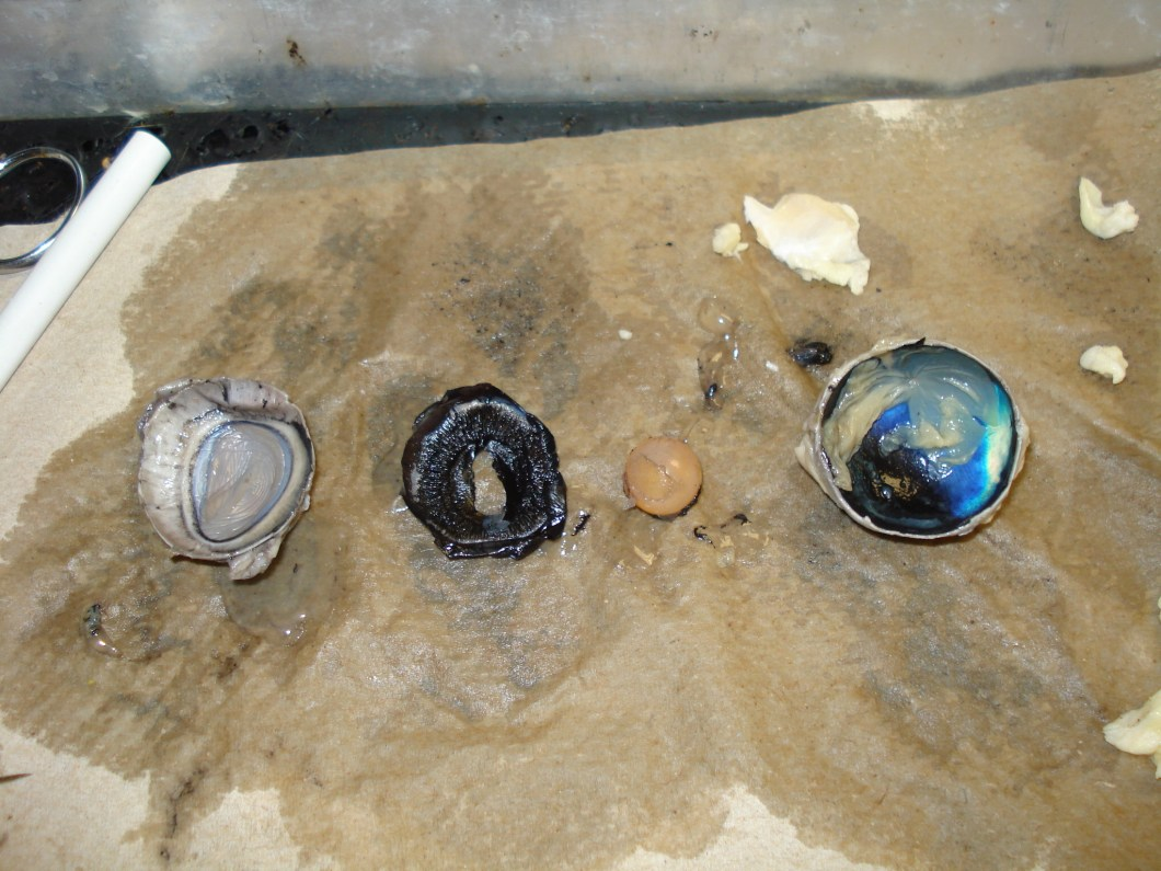 Cow Eye Dissection Labeled | Anexa Market