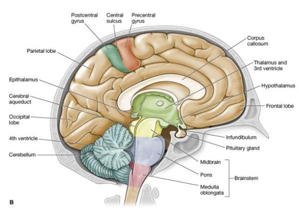 Midbrain Anatomy
