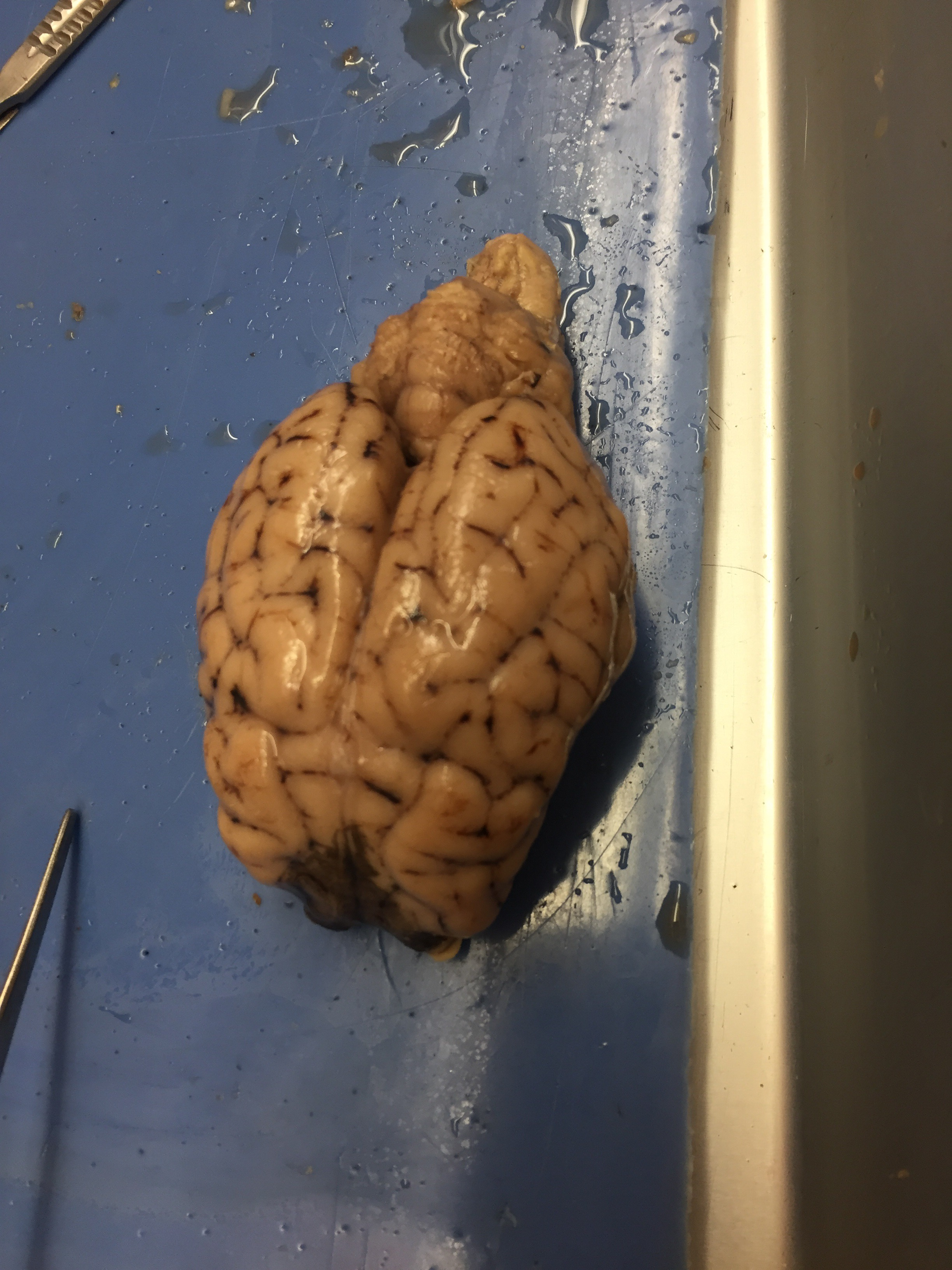 Sheep Brain Dissection Lab Anatomy Amp Physiology