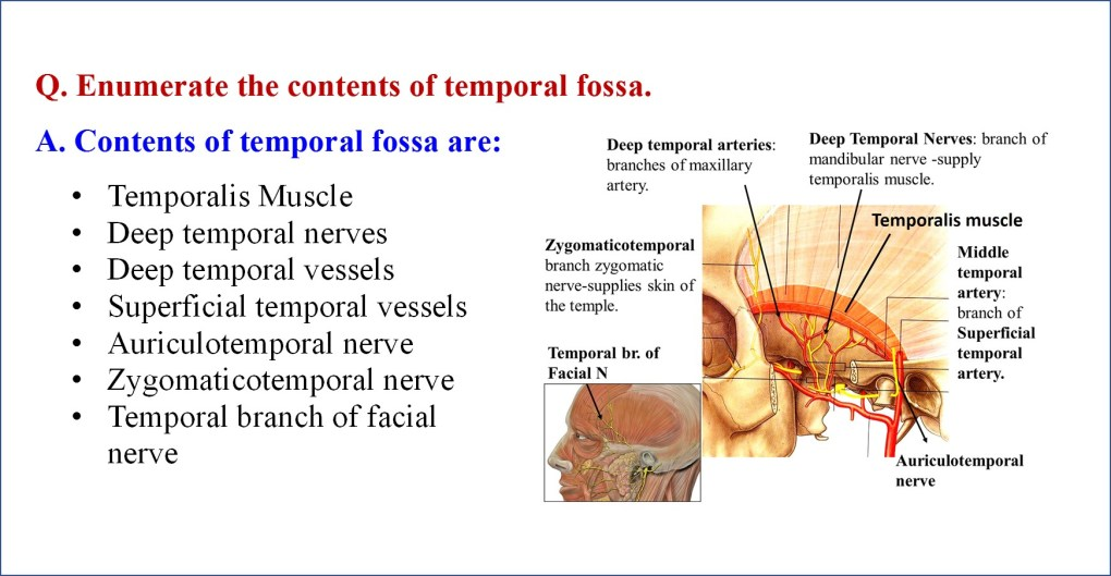 contents of temporal fossa