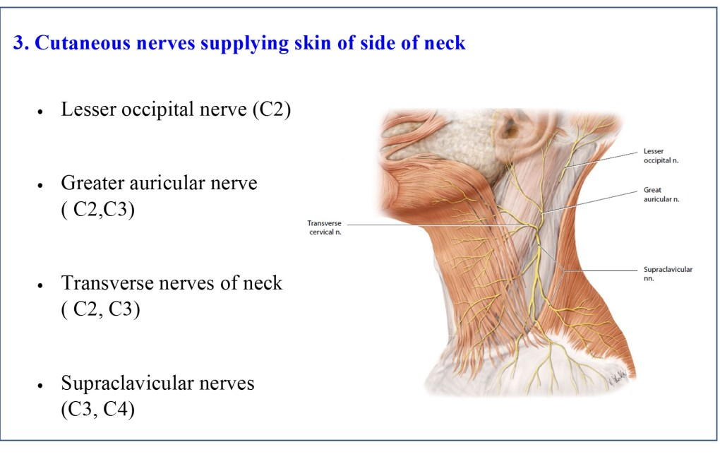 Cutaneous nerves of neck