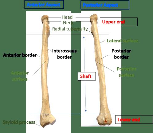 parts of radius