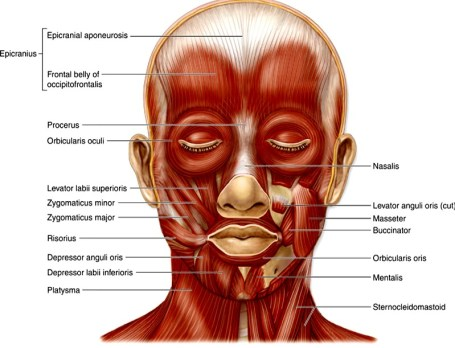 Face Muscles Facial Artery And Vein Nerve Supply Anatomy Qa