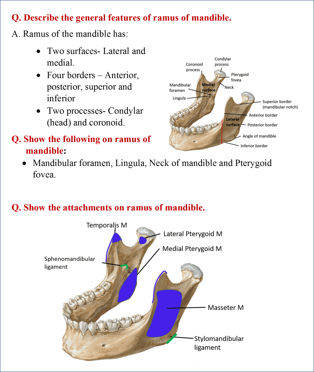 Mandible Anatomy Qa