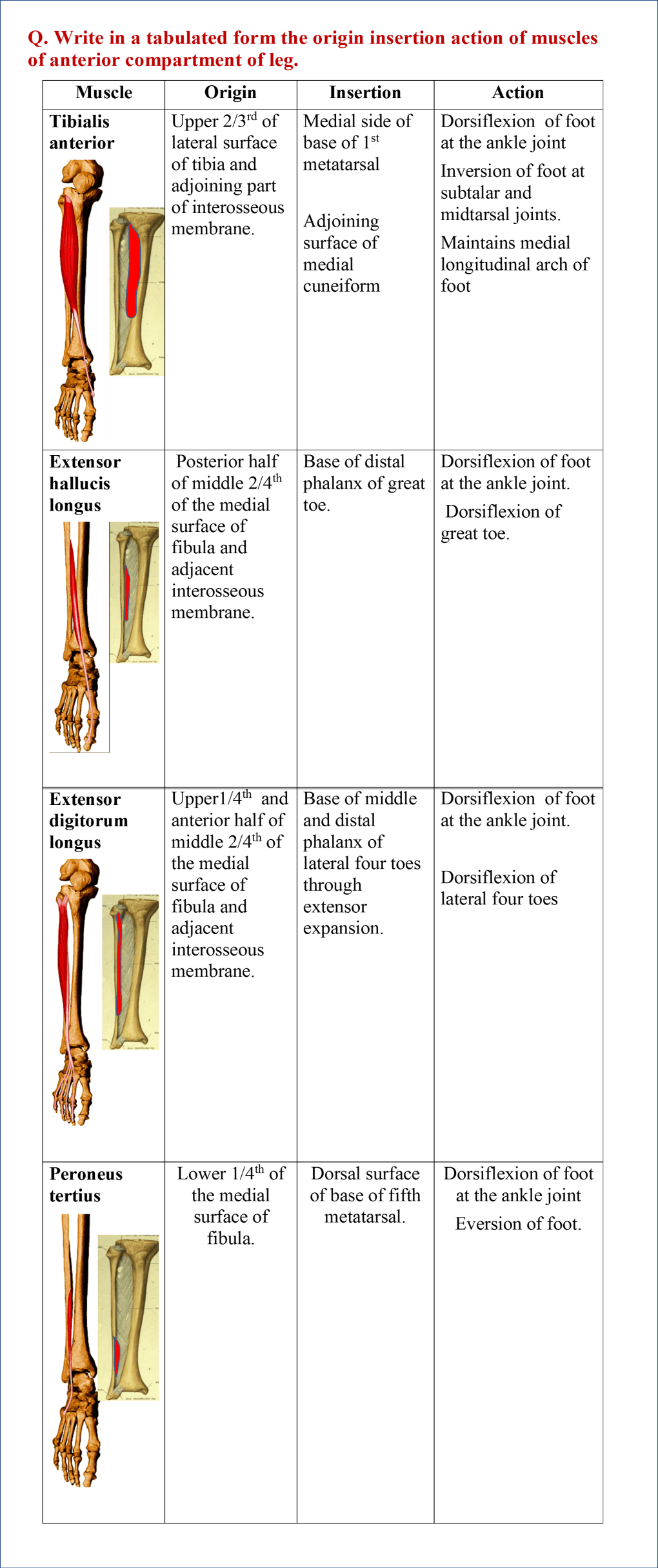 Muscles of Anterior/Extensor compartment of Leg