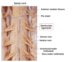 denticulate ligament- number , extent and clinical significance