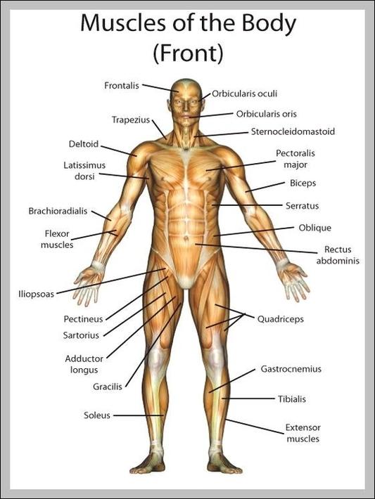 muscle diagram | Anatomy System - Human Body Anatomy ...