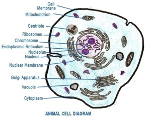 Cell | Anatomy System  Human Body Anatomy diagram and