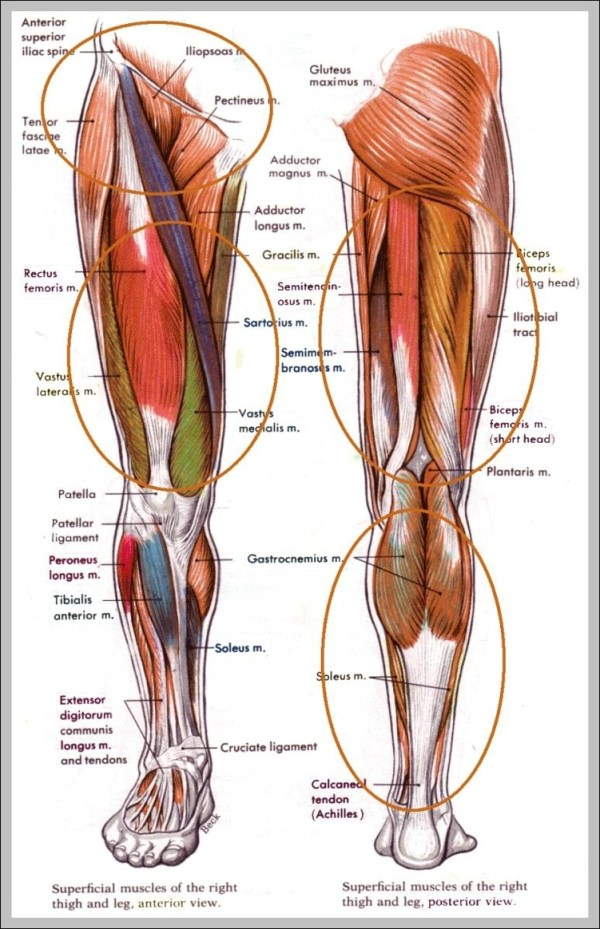 muscles in hip area 744×1208 | Anatomy System - Human Body ...