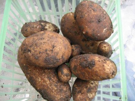 Dirty potatoes dug from the garden