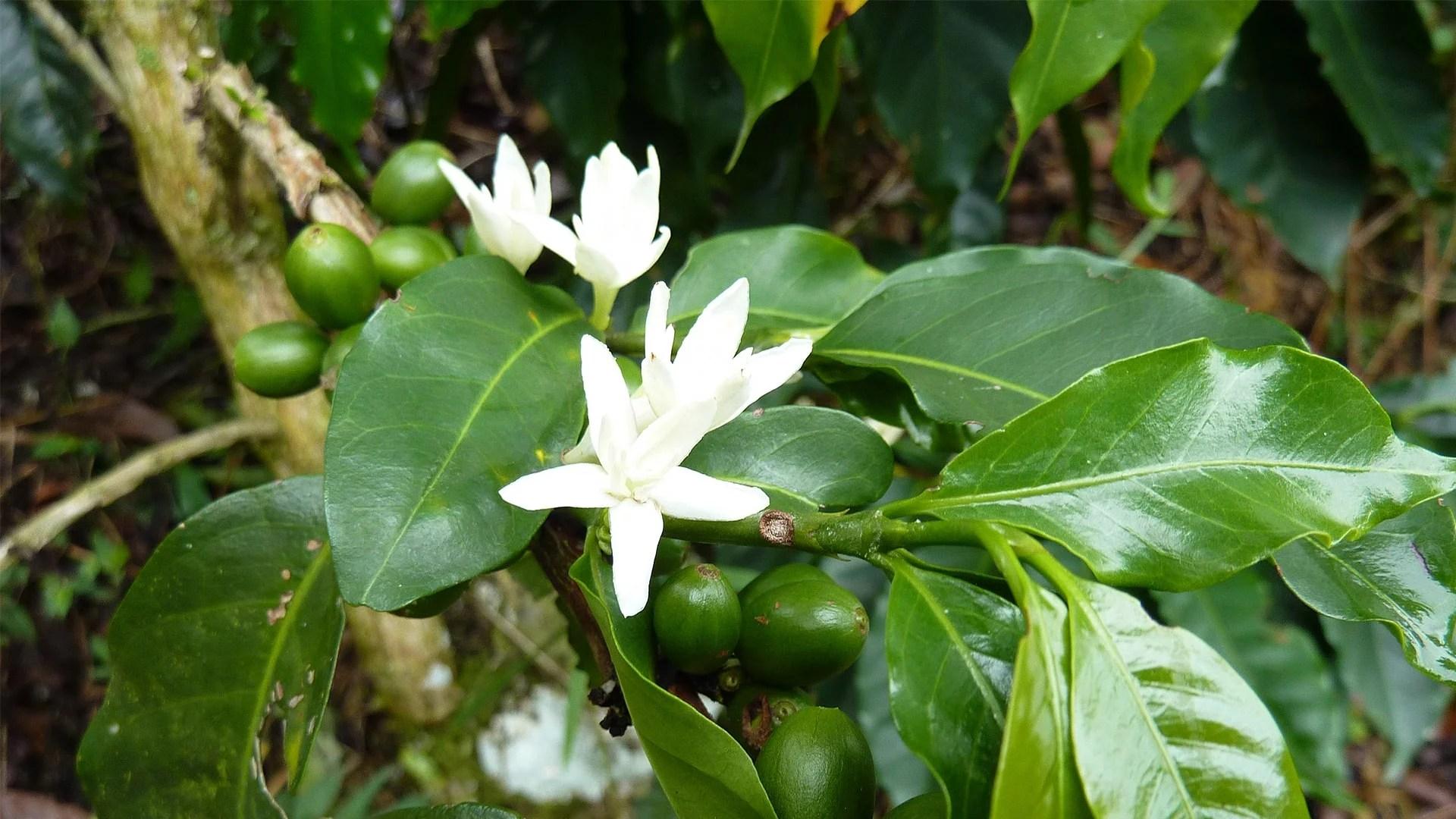 Anbassa-artisan-torrefacteur-arbre-cafe-vert-slider-1-min