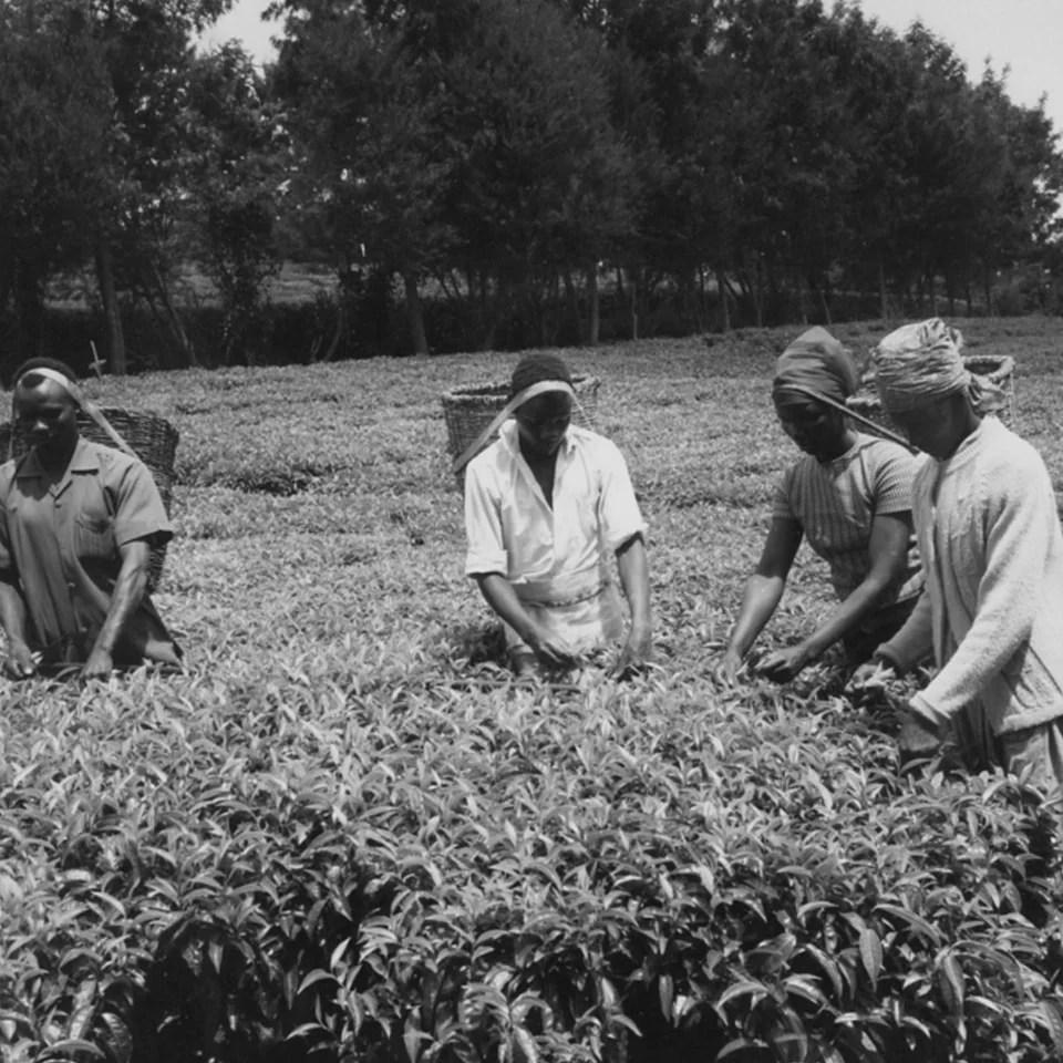 Anbassa-artisan-torrefacteur-breve-histoire-du-the-tea-plantage-min