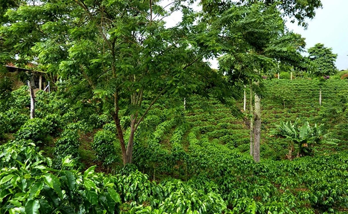 Anbassa-artisan-torrefacteur-cafe-decafeine-quindo-plantation