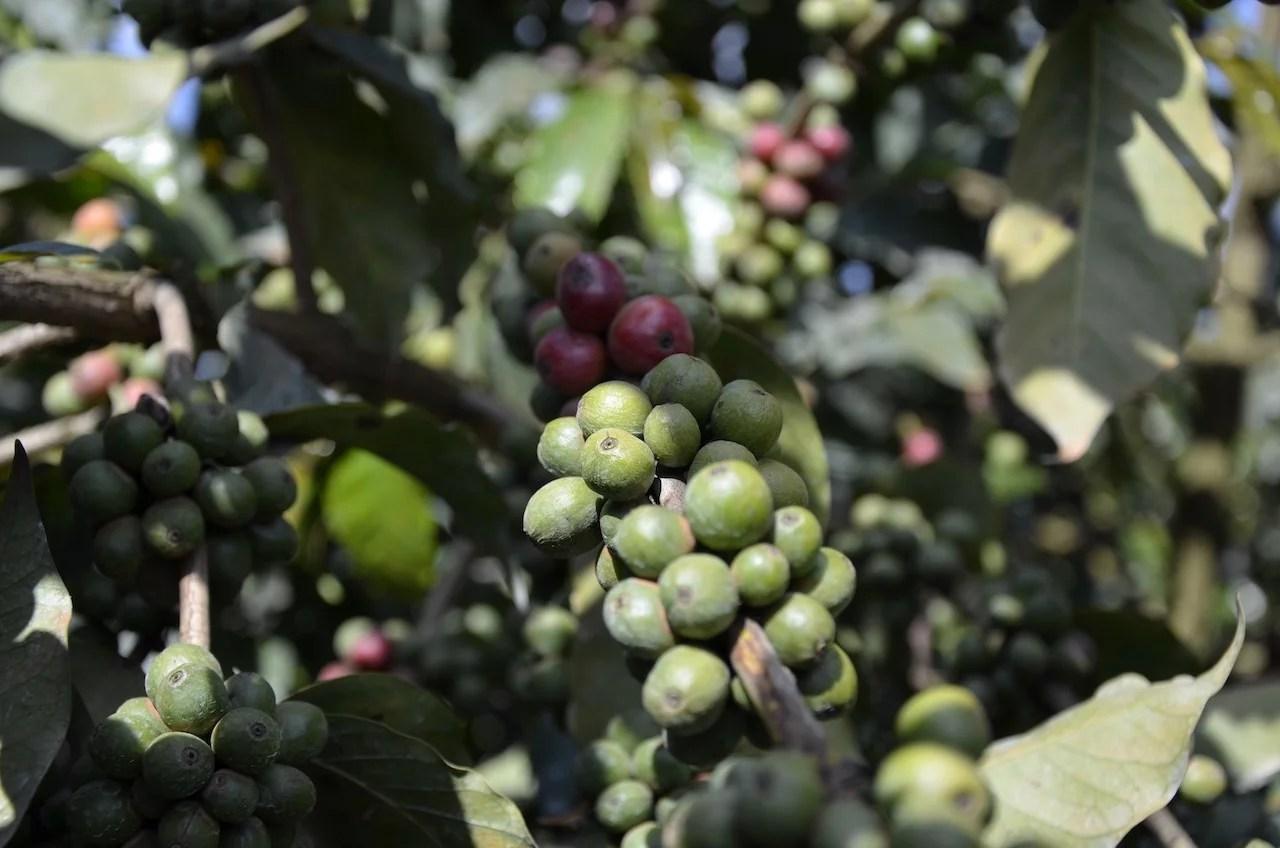 Anbassa artisan torréfacteur café Kenya Kiambu plantation