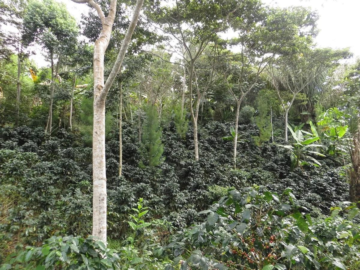 Anbassa-artisan-torrefacteur-cafe-perou-elpalomar-plantation