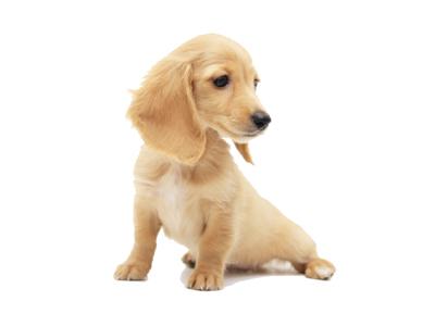 アンベルソ|仔犬