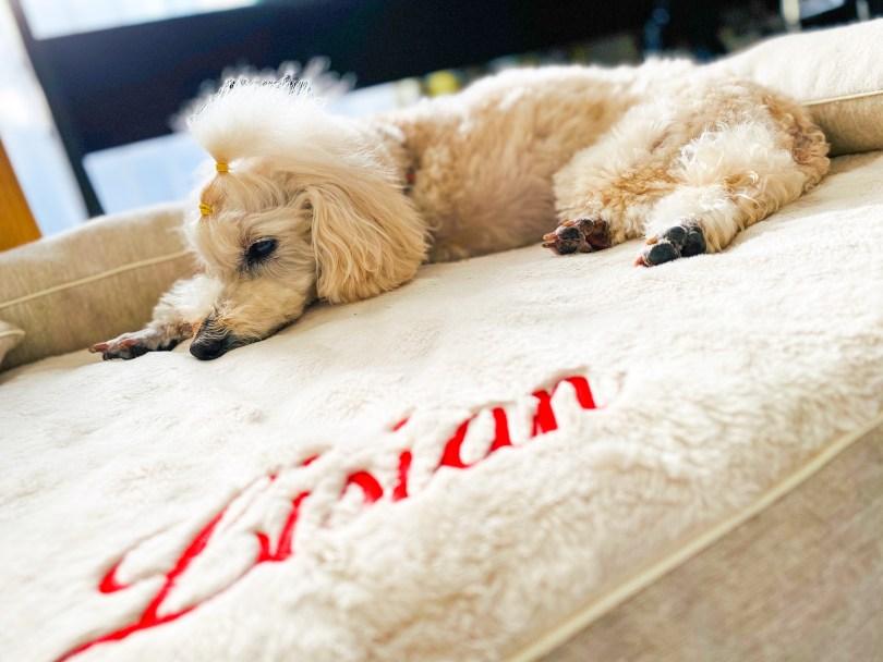 イプードルのリシアンちゃん8歳 犬の洗える日本製ベッド:ロイヤルベッド - アンベルソ