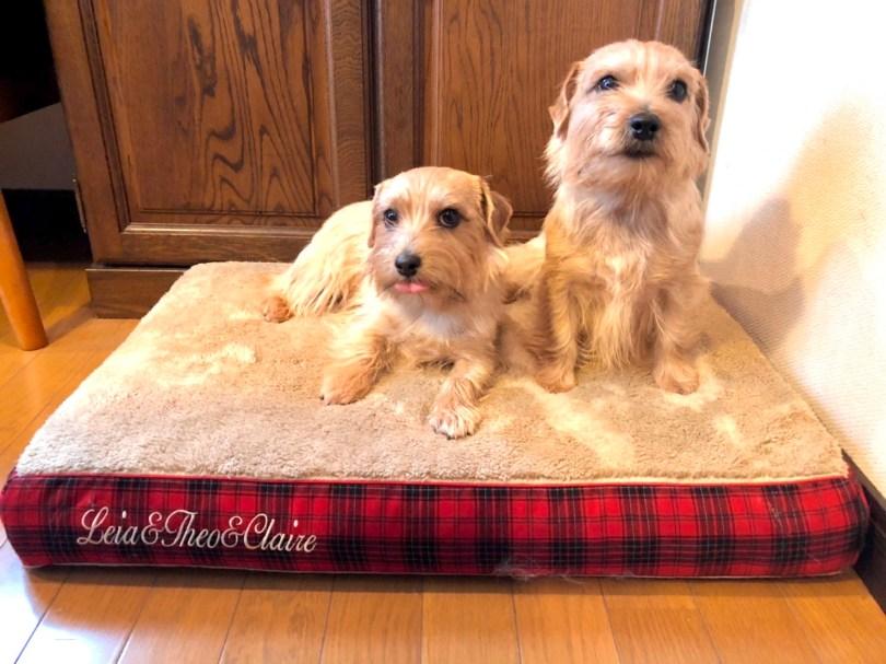 ノーフォークテリアの親子3頭 犬の洗える日本製ベッド:ロイヤルベッド - アンベルソ