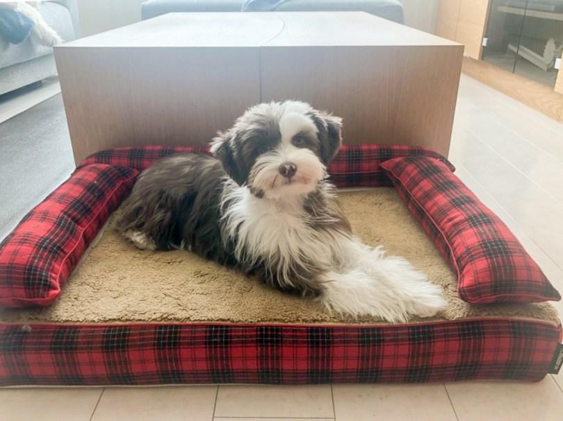 チャイニーズクレステッドドッグ 犬の洗える日本製ベッド:ロイヤルベッド - アンベルソ