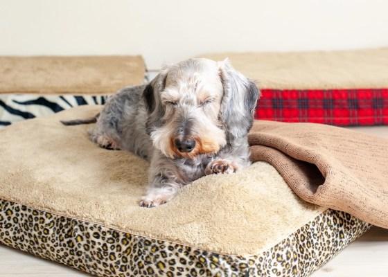 特集:シニア犬・高齢犬のベッド選びと入れ替え時期