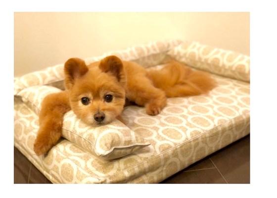 ポメプーのアンジュちゃん9歳|犬のベッド:アンベルソ