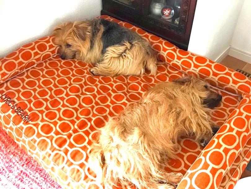 ノーフォークテリアのリリックくん10歳、べアンくん4歳|犬のベッド:アンベルソ