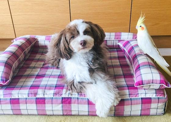 チャイニーズクレステッドドッグ パウダーのティノちゃん1歳|犬のベッド:アンベルソ