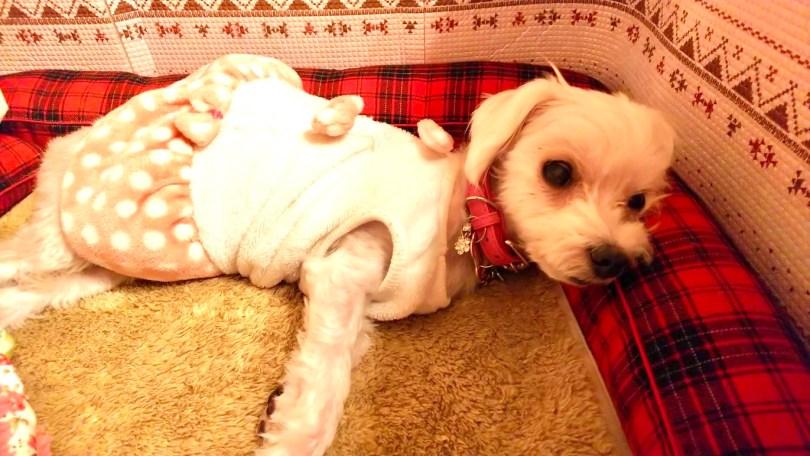 マルチーズのプティちゃん12歳|犬のベッド:アンベルソ