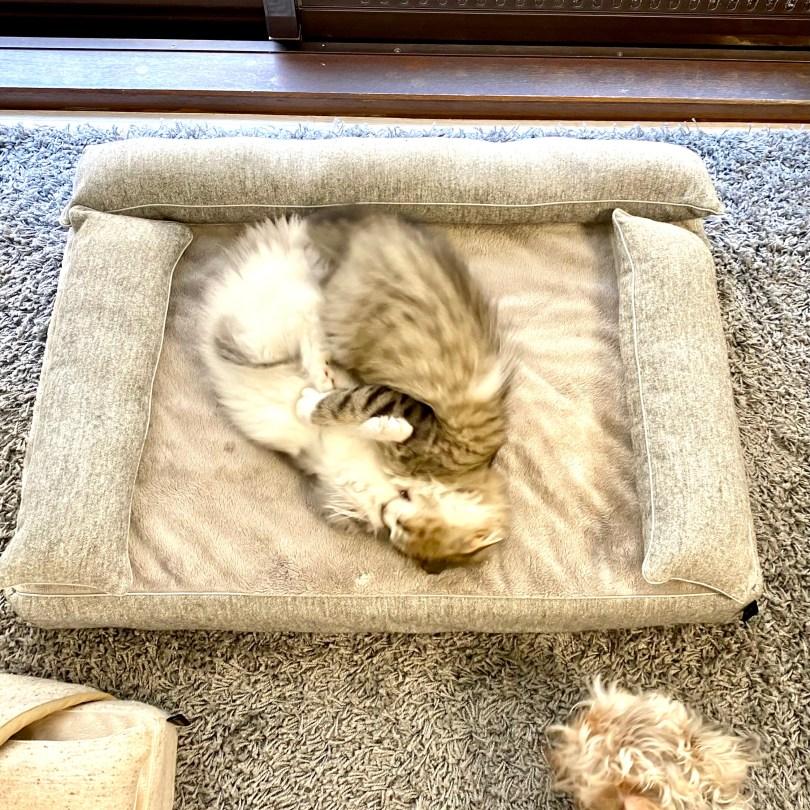 3ヶ月のサイベリアン 犬のベッド:アンベルソ