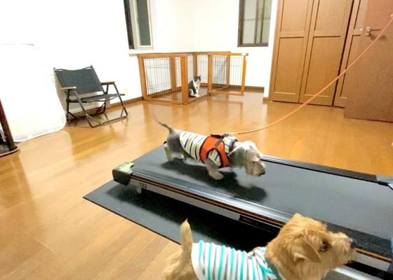 トレッドミル・トレーニング|犬のベッド:アンベルソ