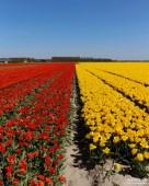 Tulips-12