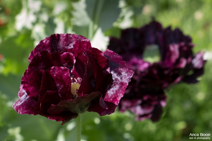 Poppies2-10