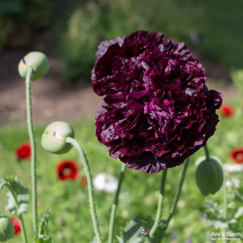 Poppies2-12