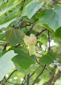 Tulip tree-11